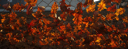 Autumn leaves. In a fence stock image