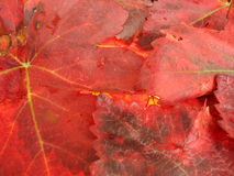 Autumn leaves in fiery red color Royalty Free Stock Photo