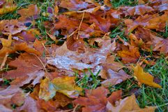 Autumn Leaves and the first freeze Stock Images