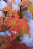 Autumn Leaves. First snowfall of winter on autumn foliage Royalty Free Stock Photography