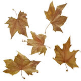 Autumn leaves. Five autumnal leaves on white background. Clipping path Royalty Free Stock Images