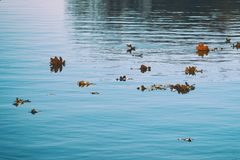 Autumn leaves float on water. Lake or river with quiet water in the autumn season. Sunny weather royalty free stock image