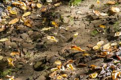 Autumn leaves floating on a low creek royalty free stock photo