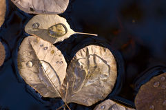 Autumn leaves floating on a pond Royalty Free Stock Photo