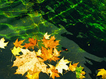 Autumn leaves floating on quiet and green water Royalty Free Stock Photos