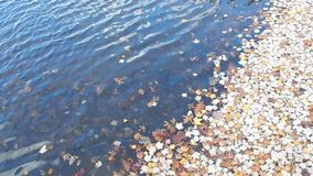 Autumn Leaves Floating & Rocking on Lake Shore stock video footage
