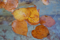Autumn leaves floating in water. Colorful autumn leaves floating in water Royalty Free Stock Image