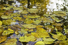 Autumn leaves floating on water Stock Image