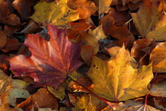 Autumn leaves on the floor Royalty Free Stock Photo