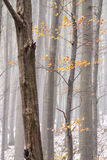 Autumn leaves. Foggy forrest with autumn leaves Stock Photography