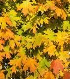 Autumn Leaves Folhas de bordo alaranjadas e amarelas vibrantes do outono fotografia de stock royalty free