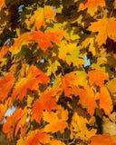 Autumn Leaves Folhas de bordo alaranjadas e vermelhas e amarelas vibrantes do outono foto de stock royalty free