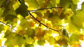 Autumn Leaves Fondo de la caída almacen de video