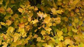 Autumn Leaves Fondo de la caída almacen de metraje de vídeo