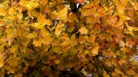 Autumn Leaves Fondo di caduta stock footage