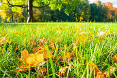Autumn leaves on the foreground in the park. Autumn landscape in sunny autumn weather Royalty Free Stock Image