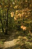 Autumn leaves in forest. Autumn leaves in a forest near Oosterbeek, The Netherlands. The wind is blowing through the leaves Royalty Free Stock Photo