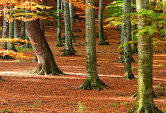 Autumn leaves in forest Stock Images