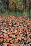Autumn leaves in forest. Scenic view of scattered autumn leaves with trees in background Stock Images
