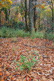 Autumn leaves in forest. Scenic view of scattered autumn leaves in forest clearing Stock Photos