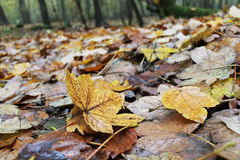 Autumn leaves in a forest Stock Photo