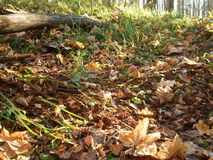 Autumn leaves in the forest. stock images