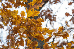 Autumn leaves in forest Royalty Free Stock Images