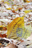 Autumn leaves on forest floor Royalty Free Stock Images