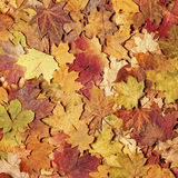 Autumn leaves in forest. Royalty Free Stock Photo