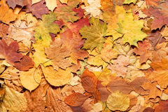 Autumn leaves in forest. Royalty Free Stock Images