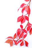 Autumn Leaves Frame. Branch of red leaves isolated on white background Royalty Free Stock Image