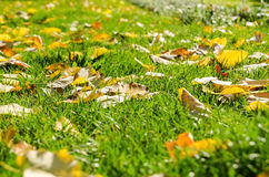 Autumn Leaves In Fresh Green-Gras Stockfotos