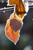 Autumn leaves and frost Stock Photo