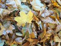 Autumn leaves with frost. Background Royalty Free Stock Images