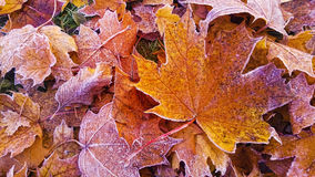 Autumn leaves with frost Stock Image