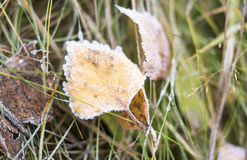 Autumn leaves in frost on the grass Stock Image