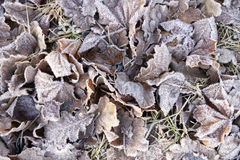 Autumn leaves in frostiness. Brownish autumn leaves on ground covered with white frost Stock Photography