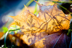 Autumn Leaves Frozen Artmif.lv Royalty Free Stock Photography