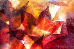 Autumn leaves frozen solid Stock Photography