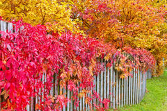 Autumn leaves on a garden fence Stock Images