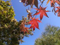 Autumn leaves in the Garden of morning calm with blue sky background Stock Photography
