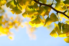 Autumn leaves of ginkgo against sky Royalty Free Stock Images
