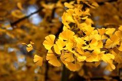 Leaves of Ginkgo Biloba. Autumn leaves of ginkgo biloba in the sunshine Stock Photos