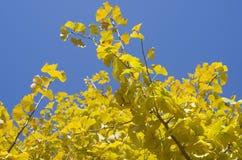 Autumn leaves of Ginkgo biloba. Yellow autumn leaves of Ginkgo biloba on a blue sky backgound Royalty Free Stock Photos