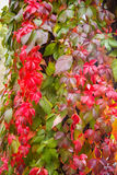 Autumn leaves, girlish grapes Stock Photos