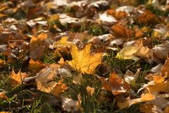 Autumn Leaves In Golden Late Afternoon Light stock photos