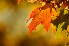 Autumn leaves. Golden autumn maple leaf in blurred background Stock Photos