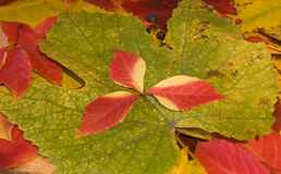 Autumn leaves grapes. Multi-colored autumn leaves of different varieties Royalty Free Stock Photos