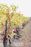 Autumn leaves of grapes. Grapevine in the fall. Autumn vineyard. Soft focus. Copy space. Vineyard in autumn. Dry grass and yellow leaves. Nature blurred royalty free stock photos