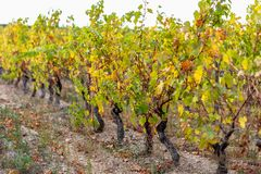 Autumn leaves of grapes. Grapevine in the fall. Autumn vineyard. royalty free stock images